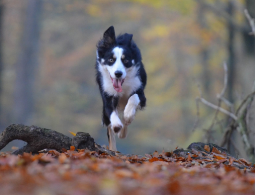 Dogs Perfect Recall